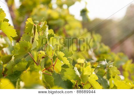Grape leaves with sun rays