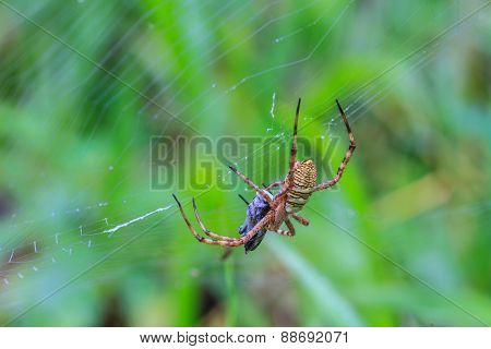 multicolored Spider with Prey