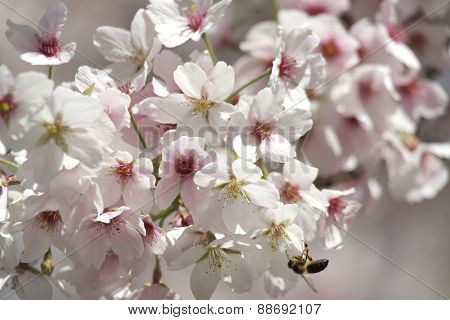 Pink and White Blossom with Bee