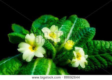Primrose - Primula vulgaris, messenger of spring. The primrose is one of the earliest spring flowers
