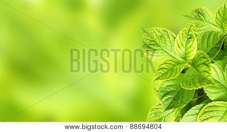 Spring background with leaves of a hydrangea