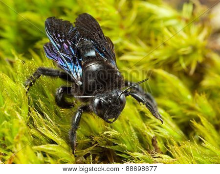 Indian Bhanvra (european Carpenter Bee) Over Green Moss