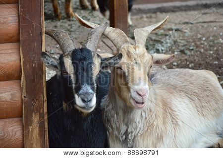 Goats (black and white - love and friendship)