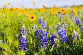 pic of sunflower  - Texas bluebonnets and sunflowers on a sunny spring morning - JPG