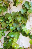 Vines On Weathered White Stone Wall