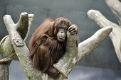 stock photo of orangutan  - The orangutan is taking it easy in his tree. ** Note: Soft Focus at 100%, best at smaller sizes - JPG
