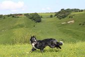 picture of border collie  - Jaxzz the border collie in a true action shot  - JPG