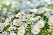 stock photo of daisy flower  - Little spring daisy flowers in meadow - JPG