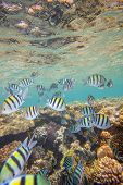 stock photo of coral reefs  - Shoal of abudefduf - JPG