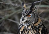 picture of eagles  - A Eurasian Eagle Owl  - JPG