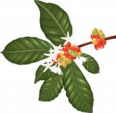 picture of species  - Illustration of Coffee species branch with coffee berries and blossom - JPG