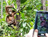 picture of handphone  - Candid pose of an Orang Utan and a tourist phone camera - JPG