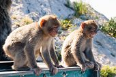 picture of macaque  - Barbary Macaque apes on The Rock of Gibraltar - JPG
