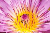 pic of water lilies  - Purple water lily closeup showing yellow stamens and honeybee searching for nectar  - JPG