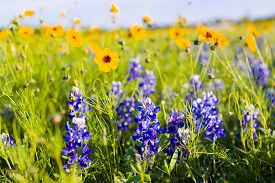 pic of bluebonnets  - Texas bluebonnets and sunflowers on a sunny spring morning - JPG