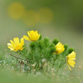 stock photo of rare flowers  - Yellow Pheasant - JPG
