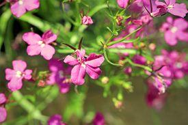 foto of lobelia  - Pink Lobelia erinus flowers close up shallow depth of field. ** Note: Visible grain at 100%, best at smaller sizes - JPG