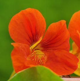picture of nasturtium  - close on orange flower of nasturtium on green background - JPG