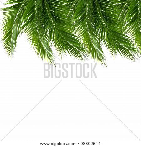 Group Of Coconut Leaves Isolated On White Background
