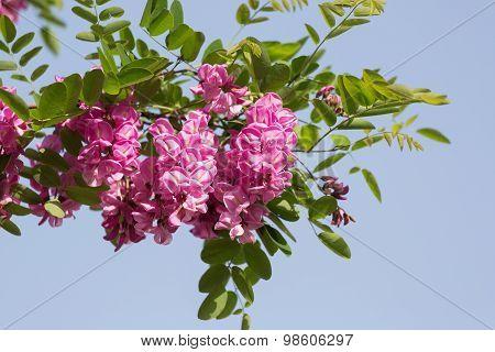 Blossoming Pink Acacia (robinia Viscosa) Against The Sky