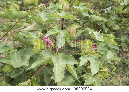 Cotton Plant, Cotton Buds