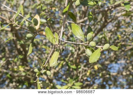 Olives In The Olive Tree