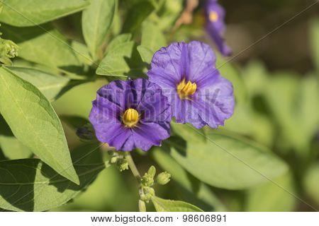 Solanum Rantonnetii Flowers