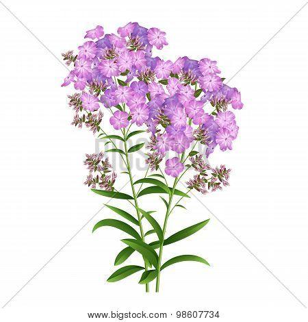 Phlox Flowers Vector