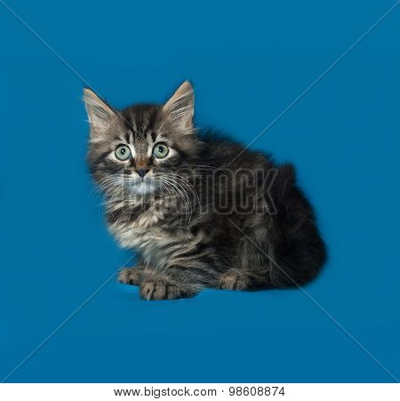 Siberian Fluffy Tabby Kitten Sitting On Blue