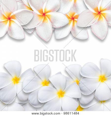 Frangipani Flower Isolated On White Backgound