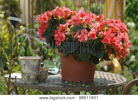 Garden decoration red blossoming potted plant gerania