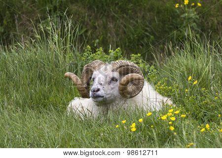 Icelandic Sheep Ram