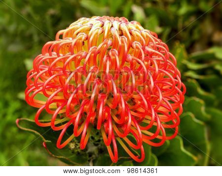 Red Pincushion Protea