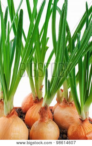 Onions, Green Onions Isolated On White Background.