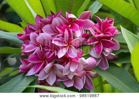 Pink Frangipani Flower At Full Bloom During Summer, Plumeria