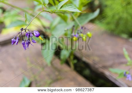 Purple Flowers Solanum Dulcamara