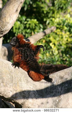red ruffled lemur