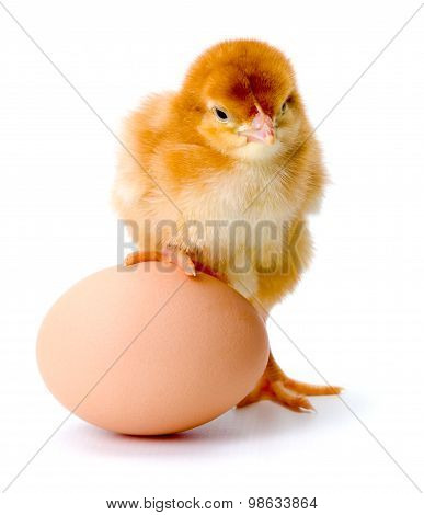 Newborn Brown Chicken With Egg