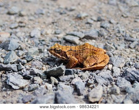 Common toad, rana temporaria, sitting on the rocky road