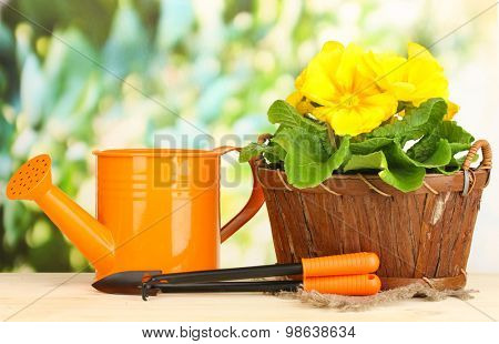 Beautiful yellow primula in basket on wooden table on green background