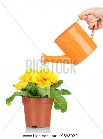 Beautiful yellow primula in flowerpot and watering can, isolated on white