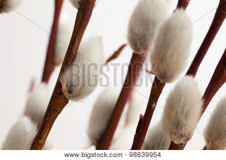 Closeup Of Pussy-willow