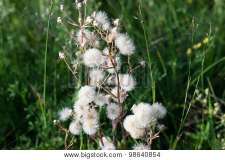 Plant With Parachutes Like Dandelion (cupid's Shaving Brush)