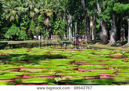 Pamplemousess Botanical Gardens In Mauritius