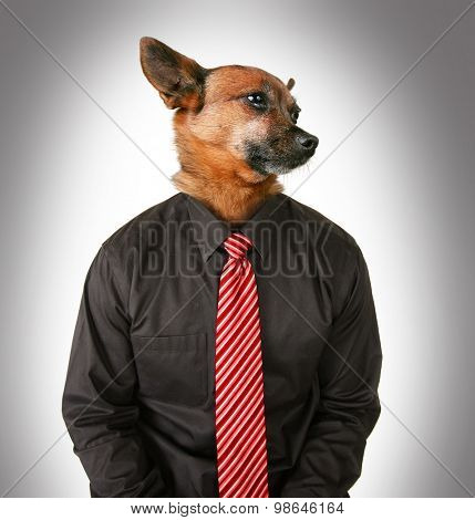 portrait of a chihuahua mix dog as a business looking off to the side man wearing a suit and red tie isolated on a gray background