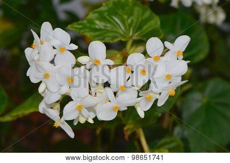 Fragrant Begonia Latin name begonia odorata