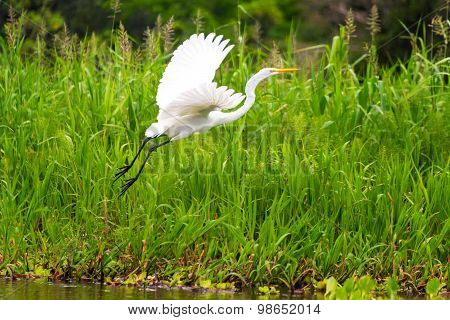Great White Heron Takeoff