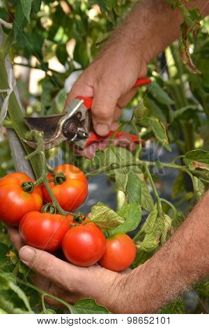 Farmer hands collecting cutting tomato crop from tree. Harvesting tomato crop.