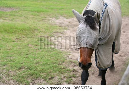 Horse with fly cover and mask