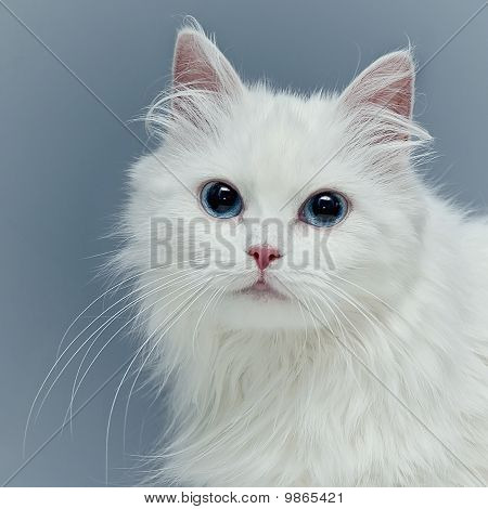 White fluffy cat with blue eyes Stock Photo & Stock Images ...